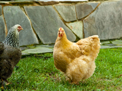 Slate Hill Farm. Puopolo farmhouse. Close-up of chickens walking on grounds outside of house.