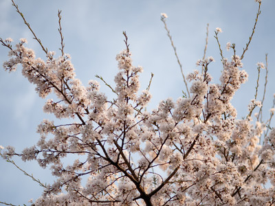 Yoshino Cherry Branches