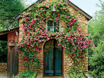 Peggy Martin Rose on Garden Shed