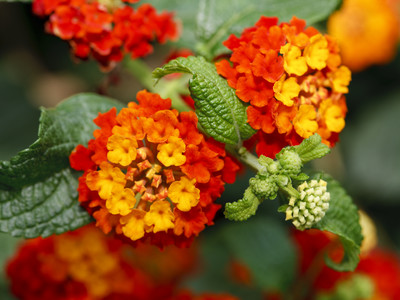 Orange and Yellow Lantana