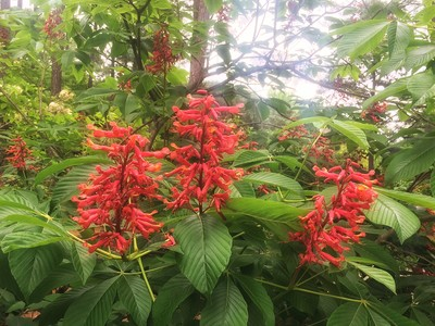Red Buckeye Flower