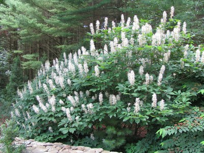 Bottlebrush Buckeye Shrub