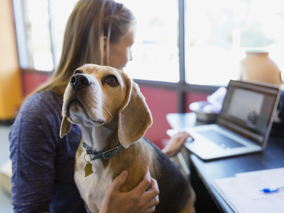 bring-dog-work-beagle-lap
