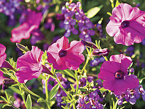 Purple Petunia and Angelonia Flowers