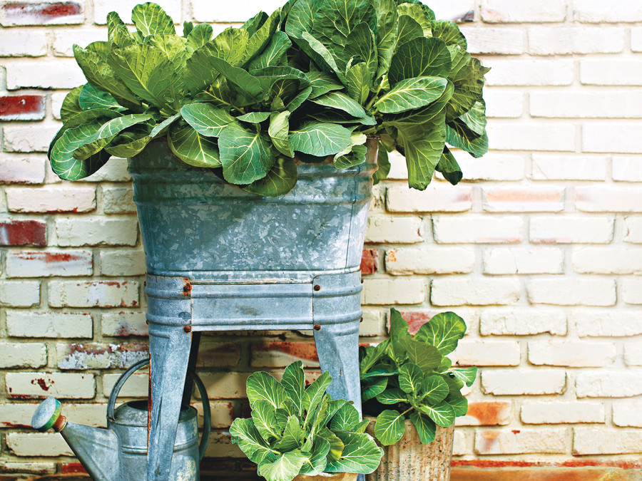 Collard Greens, growing collards, how to grow collards