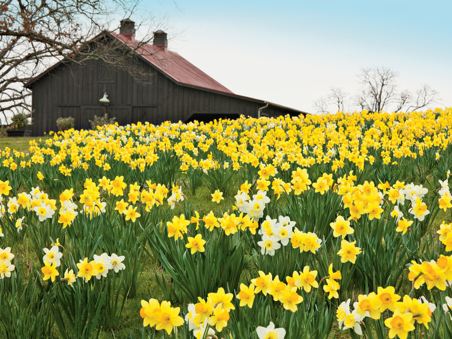 Planting Daffodils - Southern Living