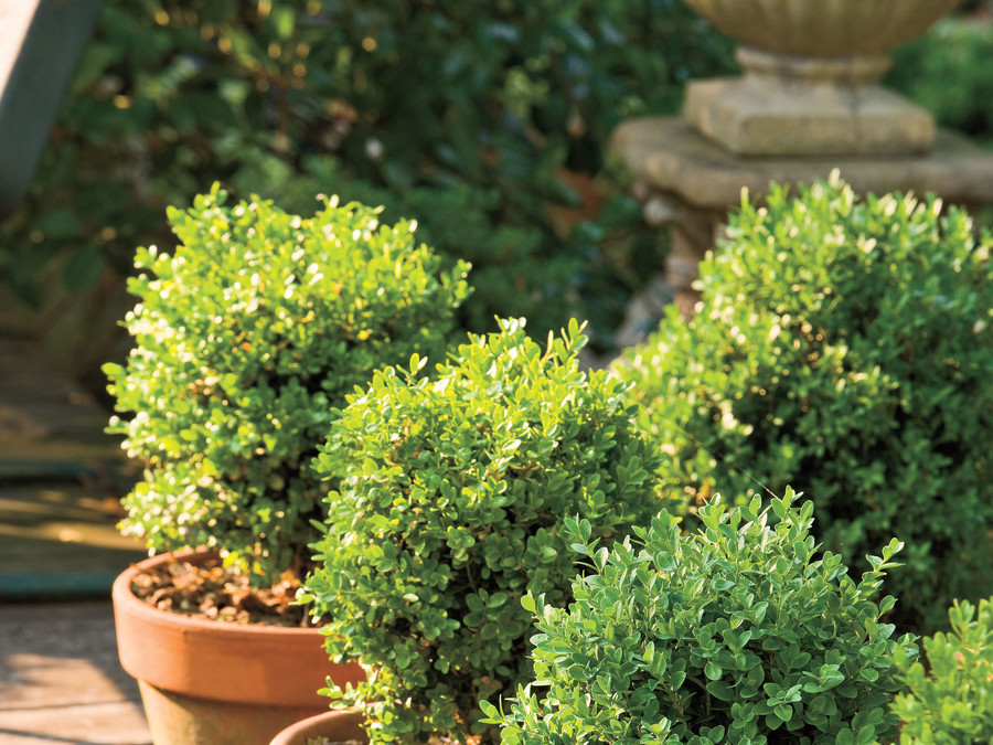 Boxwoods are perfect for pots.
