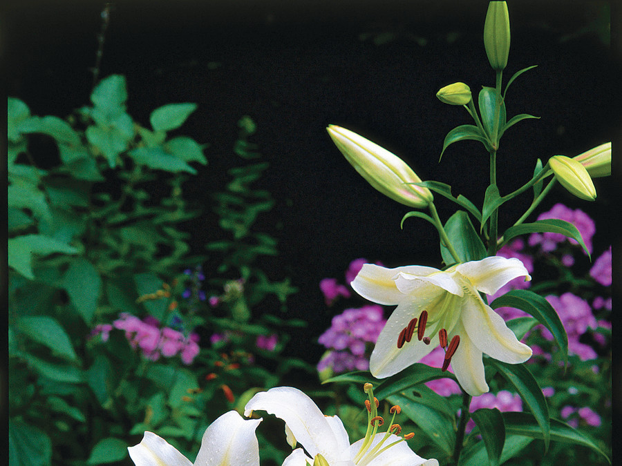 Plant Oriental Lilies for Beautiful Flowers & Sweet Fragrance