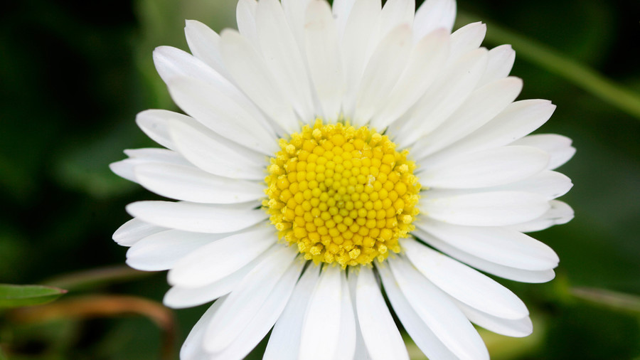 Daisy Birth Flower April