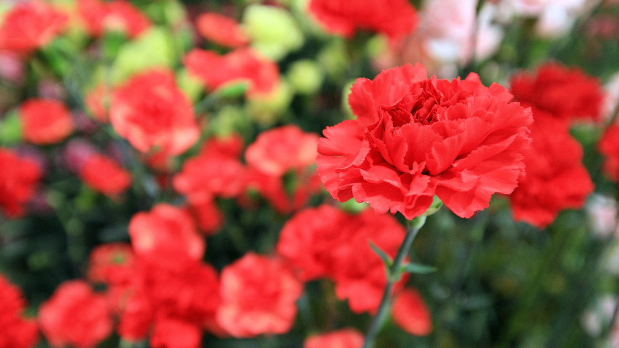 January Birth Flower: Carnation