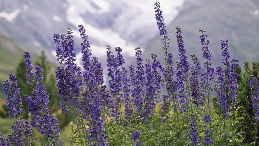 Larkspur July Birth Flower