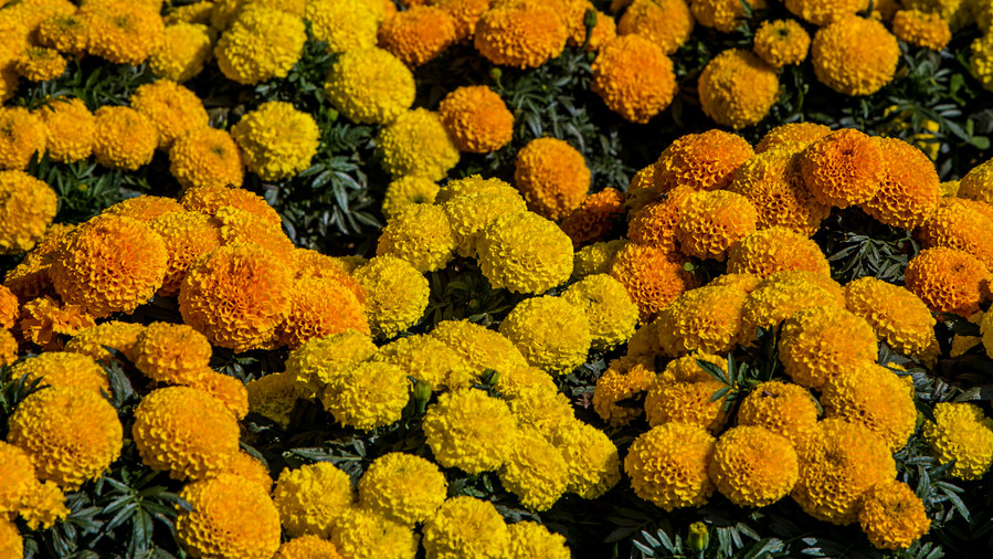 October Birth Flower: Marigold