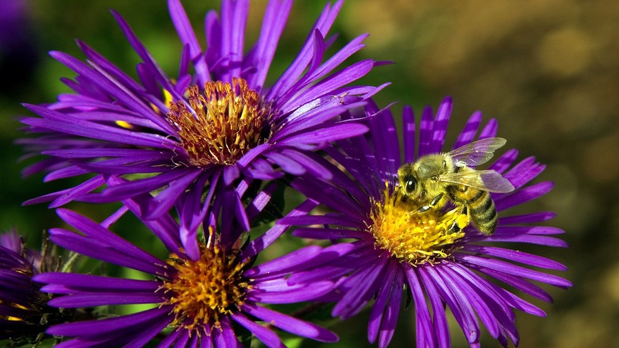 Aster September Birth Flower