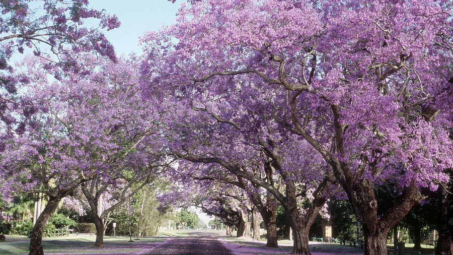 Flowering southern trees you need to plant now southern living jacaranda mightylinksfo