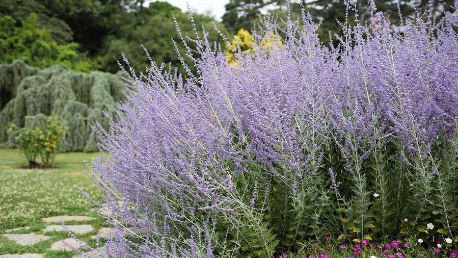 Gorgeous fall flowers southern living perennial russian sage mightylinksfo