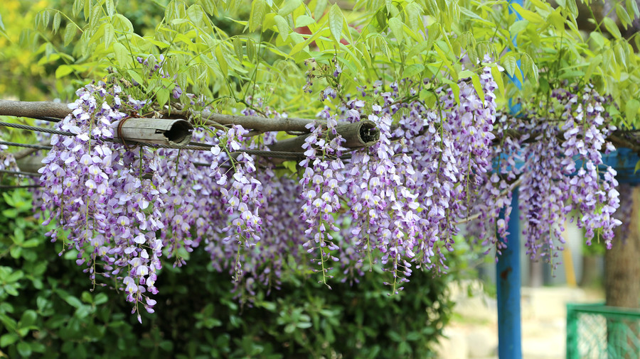 Japanese or Chinese Wisteria