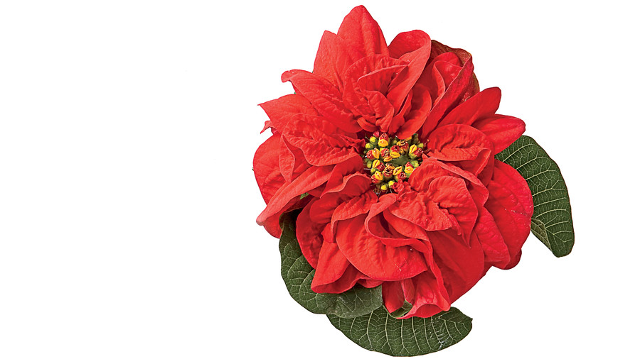 Celebrate Poinsettias