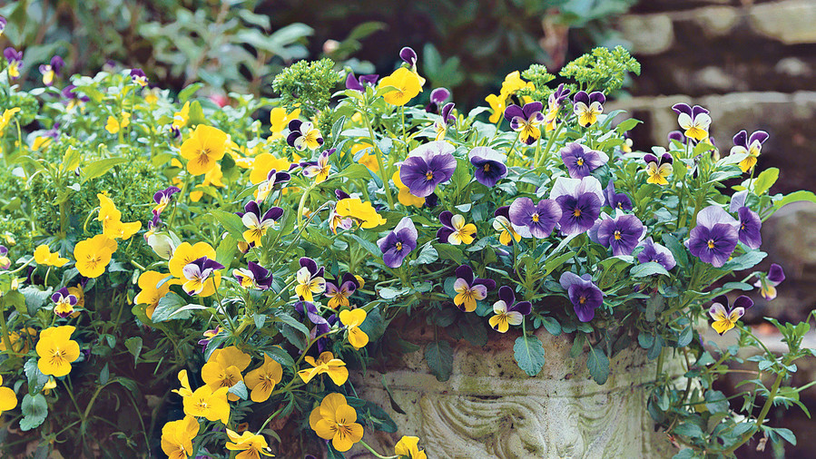 Multicolored Violas