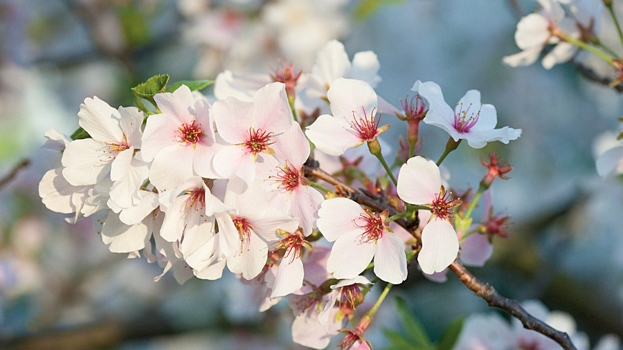 Yoshino cherry trees are the best cherry trees for the south