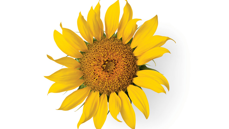 Sunflower Gardens: 'Maya'