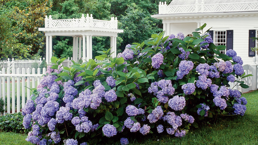 Easy Growing: Hydrangeas