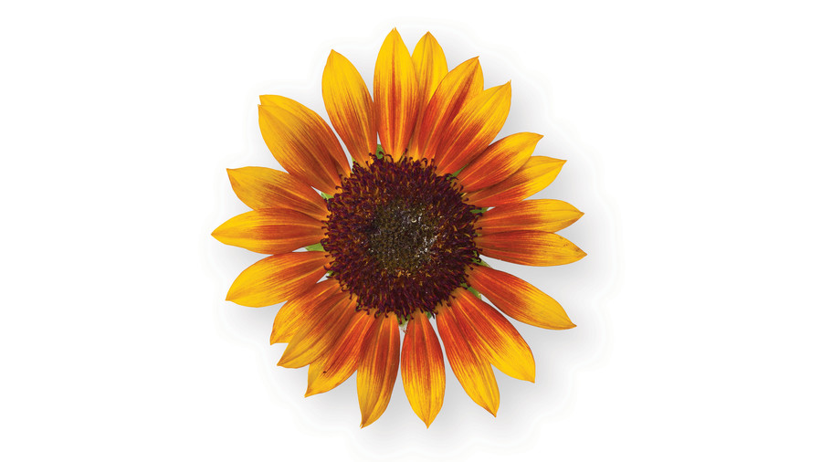 Sunflower Gardens: 'Ring of Fire'