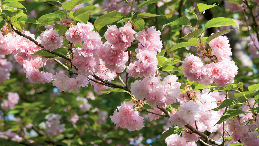 Growing cherry blossoms southern living kwanzan cherry tree mightylinksfo