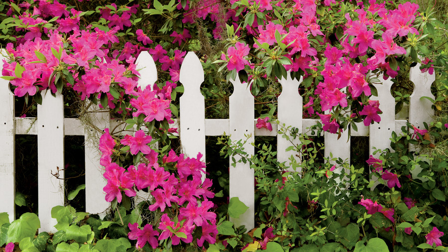 Easy Growing: Azaleas