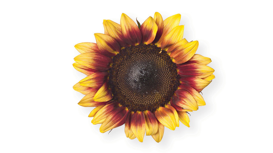 Sunflower Gardens: 'Pro Cut Red/Lemon Bicolor'