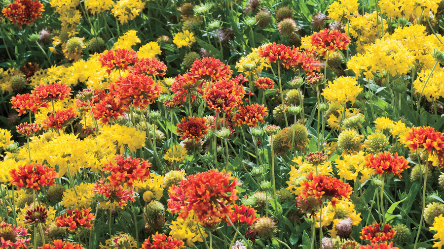 Torch Blanket Flowers