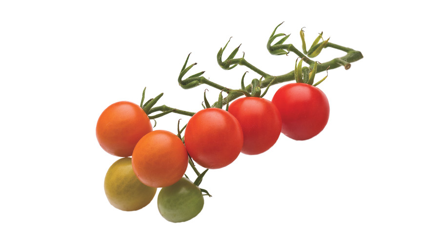 Growing Tiny, Tasty Tomatoes: 'Super Sweet 100'