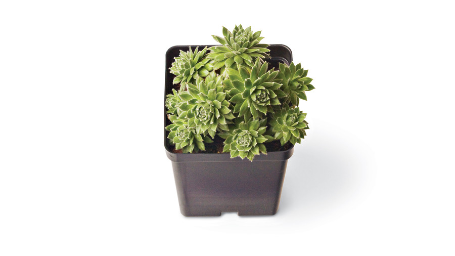 Sempervivum Arachnoideum 'Hen and Chicks'