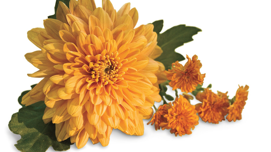 Beginners guide to chrysanthemums southern living floral mums vs garden mums mightylinksfo