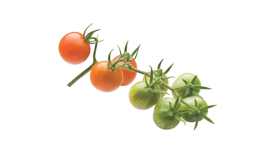 Growing Tiny, Tasty Tomatoes: 'Sun Gold'