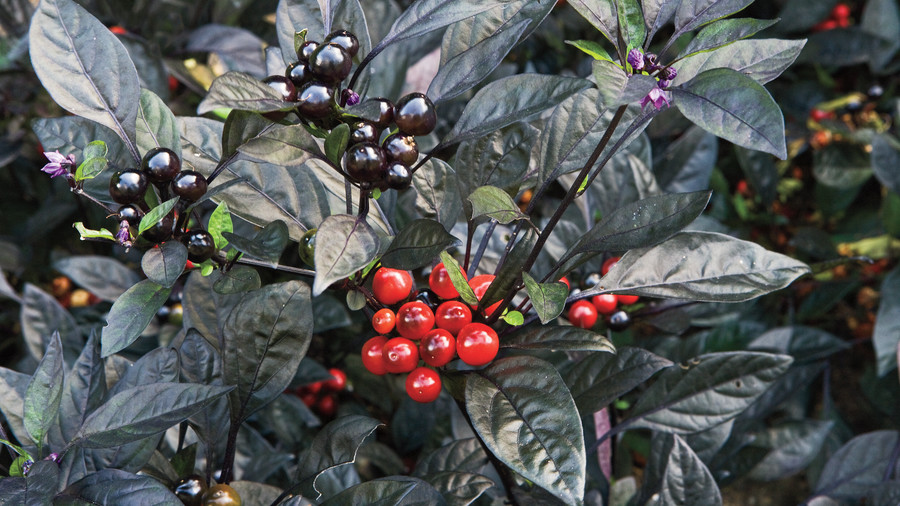 'Black Pearl' Ornamental Pepper