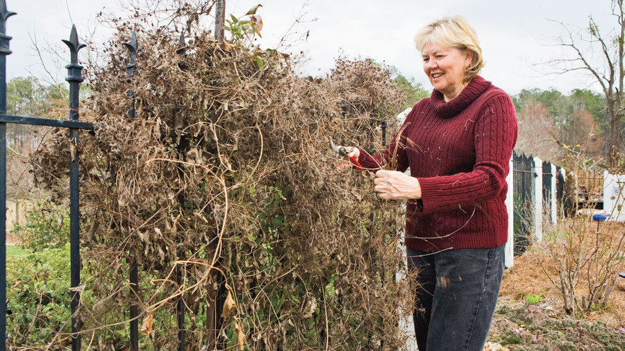 Flower Plants: Pruning: Group III Clematis