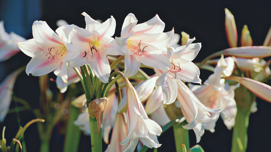 Fragrant, candy cane-striped flowers are the hallmark of milk-and-wine lilies.