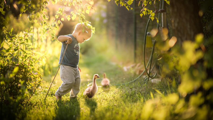Toddler Walking with Ducks