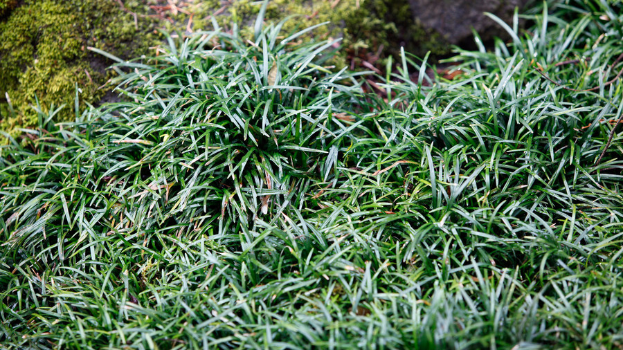 mondo grass ground cover