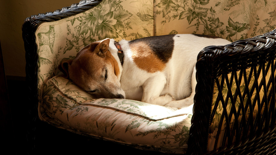 beagle sleeping in chair