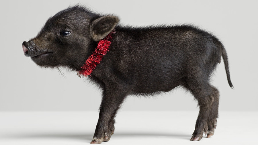 black piglet with red collar