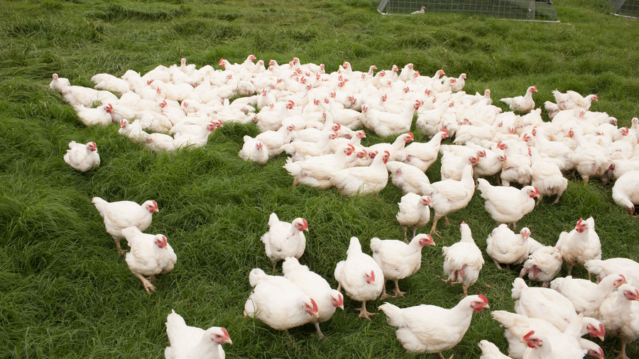 Peeler Farms. White chickens are grazing in grass.