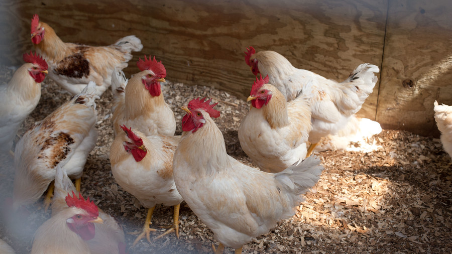 brood of white and tan chickens on farm