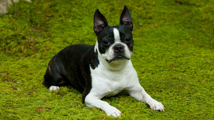 French Bulldog on moss lawn