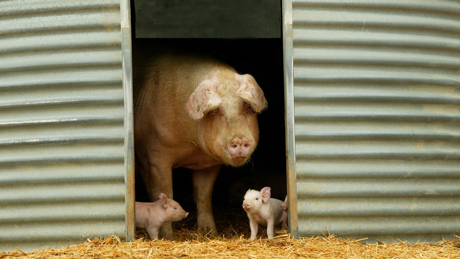 Mama pig with two piglets