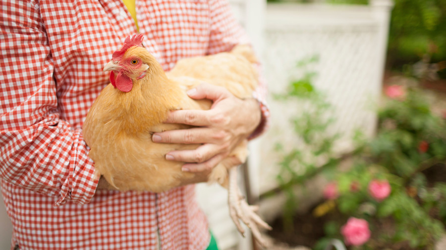 Close-up, arms of man (Jimmie Henslee) holding chicken while walking in front of chicken coop in garden.