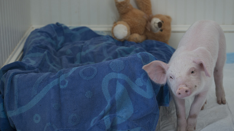 pig next to bed with teddy bear