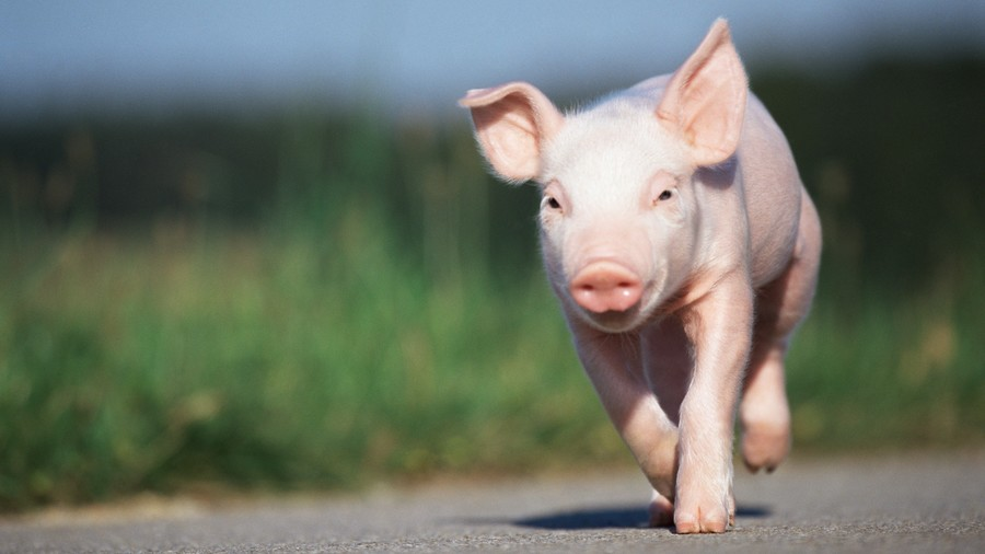 pink pig running down road