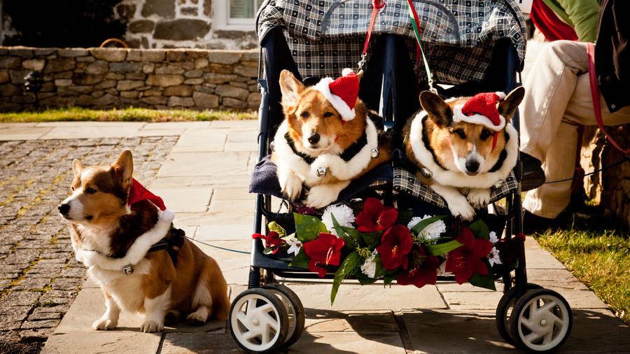three corgis dressed for christmas