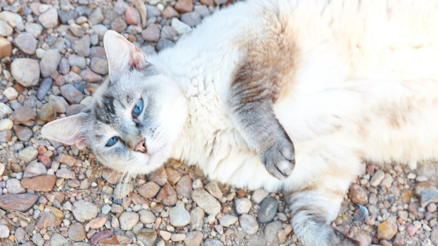 White Cat Laying Outside